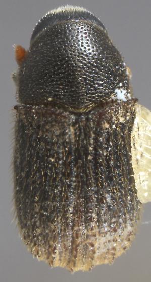 Phloeosinus antennatus