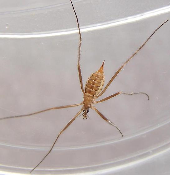 Unknown insect. - Chionea scita - female