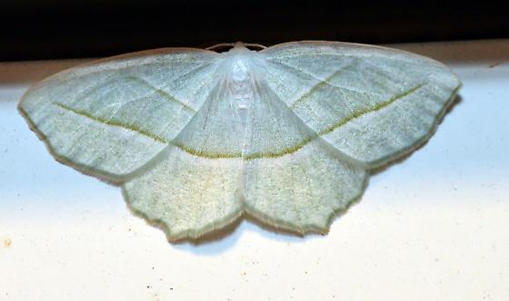 campaea perlata - Campaea perlata