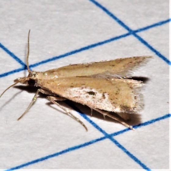 Alpheias oculiferalis  - Alpheias oculiferalis