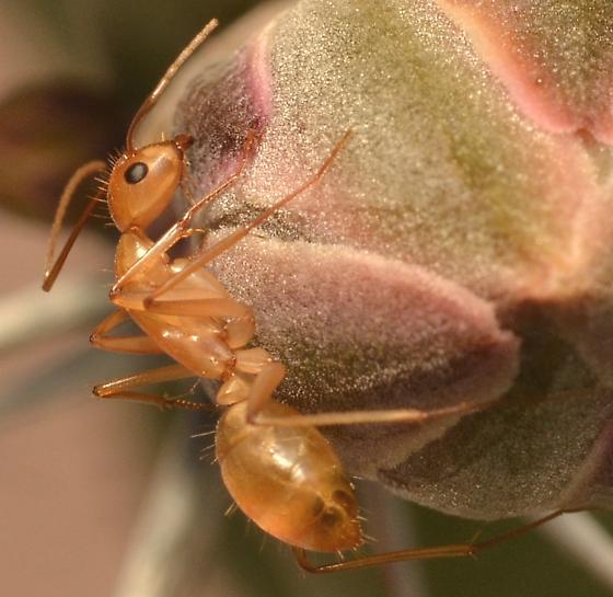 Camponotus? - Camponotus - female