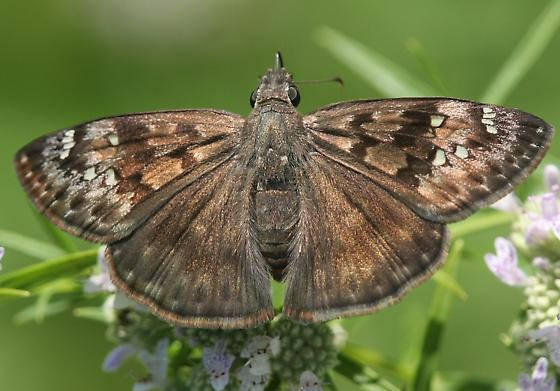 Horace's Duskywing - Erynnis horatius - female