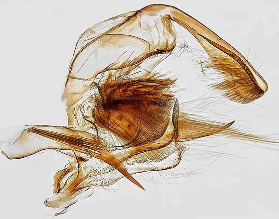 genitalia - Choristoneura rosaceana - male