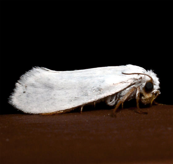 Prodoxidae?