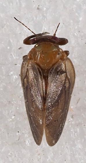 Psylloidea? - Pachypsylla celtidisgemma