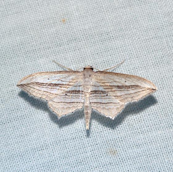 moth - Arcobara multilineata