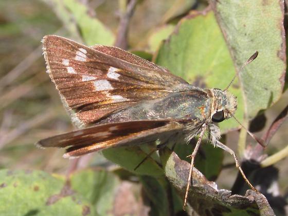 Hesperia leonardus montana - Hesperia leonardus - female