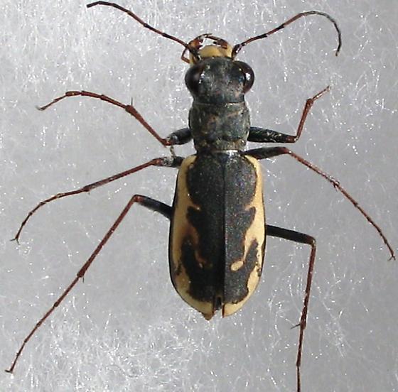 C. t. cinctipennis - Parvindela terricola