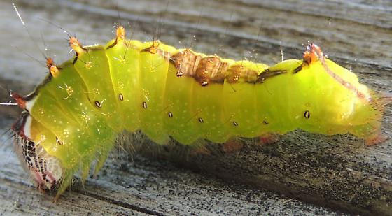 Caterpillar sp? - Acronicta clarescens