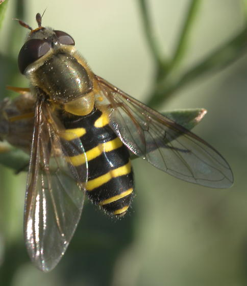 Syrphid fly with yellow bands
