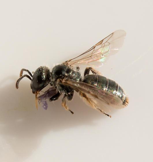 Conanthalictus bakeri - female