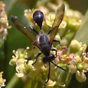 Narrow-waisted black wasp - Isodontia mexicana