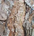 Deinopis spinosa? - Deinopis spinosa