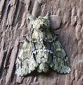 moth? - Paraeschra georgica