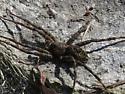 Fishing Spider?? - Dolomedes scriptus