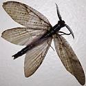 Summer Fishfly - Chauliodes pectinicornis - male