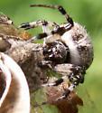 Meet a Metepeira - Metepeira - female