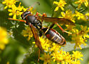 Paper Wasp - Polistes fuscatus - male