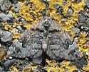 Moth - Dysstroma formosa