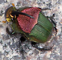 Rainbow Scarab Beetle - Phanaeus vindex - male