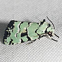 9297.2 - Elaphria cyanympha