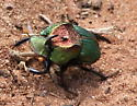 Rainbow Scarab - Phanaeus vindex Male - Phanaeus difformis - male
