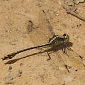 Black-Shouldered Spinyleg??? - Dromogomphus spinosus - male