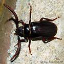 Longhorned Beetle - Prionus imbricornis