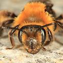 bee - Andrena dunningi - female