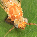 Mayfly - Maccaffertium - female