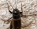 Southeastern Field Cricket - Gryllus rubens - female