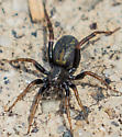 Small Black Spider - Allocosa