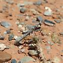 Ground mantis - Litaneutria minor