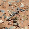 Ground mantis - Litaneutria minor