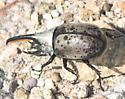 Western Hercules Beetle (Dynastes granti) - Dynastes grantii - male