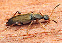 Beetle - Macratria murina