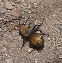 Velvet Ant - Dasymutilla vestita