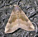 moth id - Hypena madefactalis