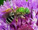 Bee - Agapostemon virescens