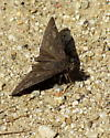 Funereal Duskywing butterfly in Griffith Park, Los Angeles area, chaparral type brush, landing on plants and trail, 11:35 AM - Erynnis funeralis