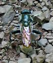 Xylota bicolor? - Xylota bicolor - male