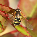 female syrphid fly laying eggs? - Syrphus torvus - female