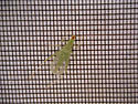 Green bug with clear wings - Oecanthus - male