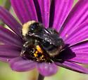 Bumble Bee - Bombus californicus - female