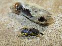 Chalcid wasp, Brachymeria flavipes - Brachymeria flavipes