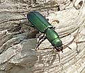Beautiful Green Beetle - Temnoscheila