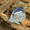 Genus Celastrina - Azures, Species ID please - Celastrina
