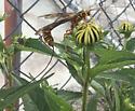 Monster ichneumon(?) - Megarhyssa macrurus