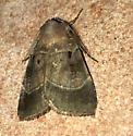 Brown Moth with Band - Agnorisma badinodis