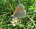 Unknown Butterfly - Coenonympha tullia